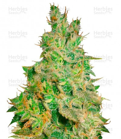 Buy Critical Kali Mist feminized seeds