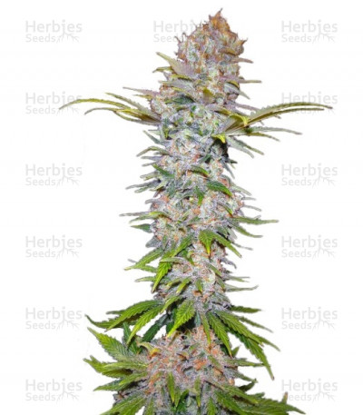 Buy Jock Horror Automatic feminized seeds