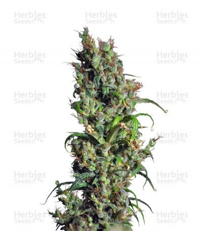 Buy Eldorado feminized seeds