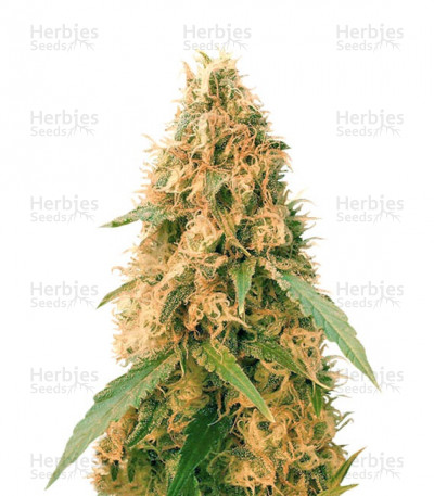 Buy Jack Mist Tree feminized seeds