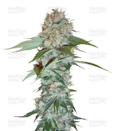 Buy Big Bud regular seeds