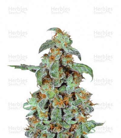 Buy Orange Bud feminized seeds