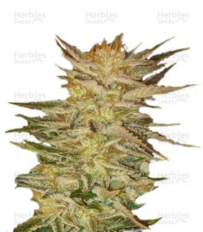 Buy Ice Cream feminized seeds