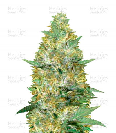 Buy Auto Caramelino feminized seeds
