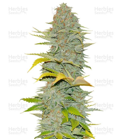 Buy Furious Candy feminized seeds
