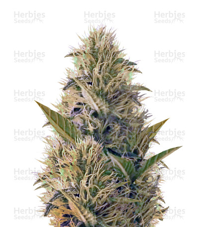 Buy La Blanca Gold feminized seeds