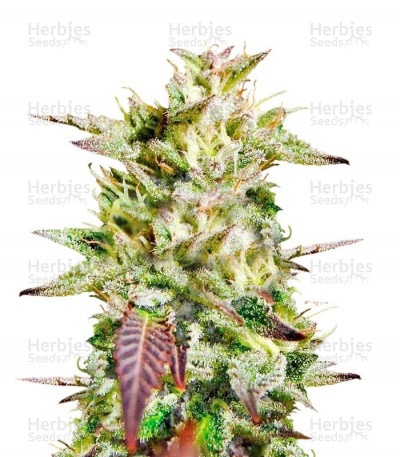 Buy Caramelo Early Version feminized seeds