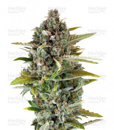 Buy Critical Cheese feminized seeds