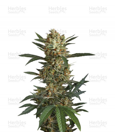 Buy Original Amnesia Autoflowering feminized seeds