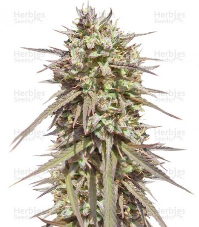 Buy Purple Maroc feminized seeds