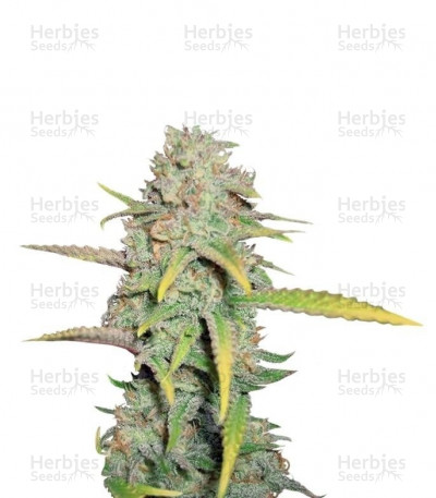 Buy O.G. Kush feminized seeds