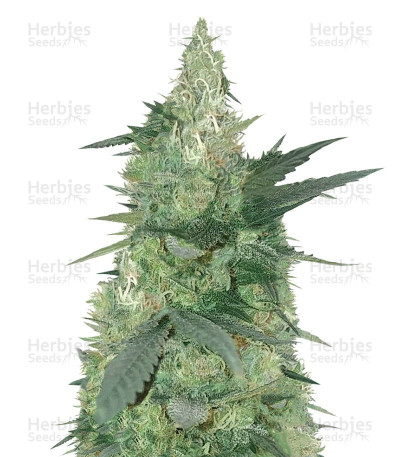 Buy Bud Bud Bling Tingz feminized seeds