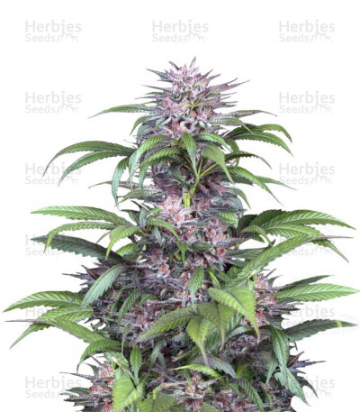 Buy Quick Kush feminized seeds