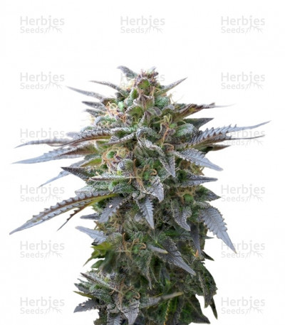Buy Blue Mystic feminized seeds