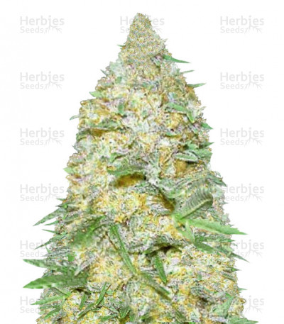 Buy Auto Super Extra Skunk feminized seeds