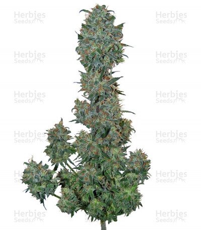 Buy Sweet Special Auto feminized seeds
