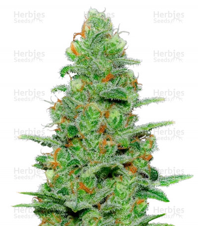 Buy Crazy Miss Hyde Auto feminized seeds